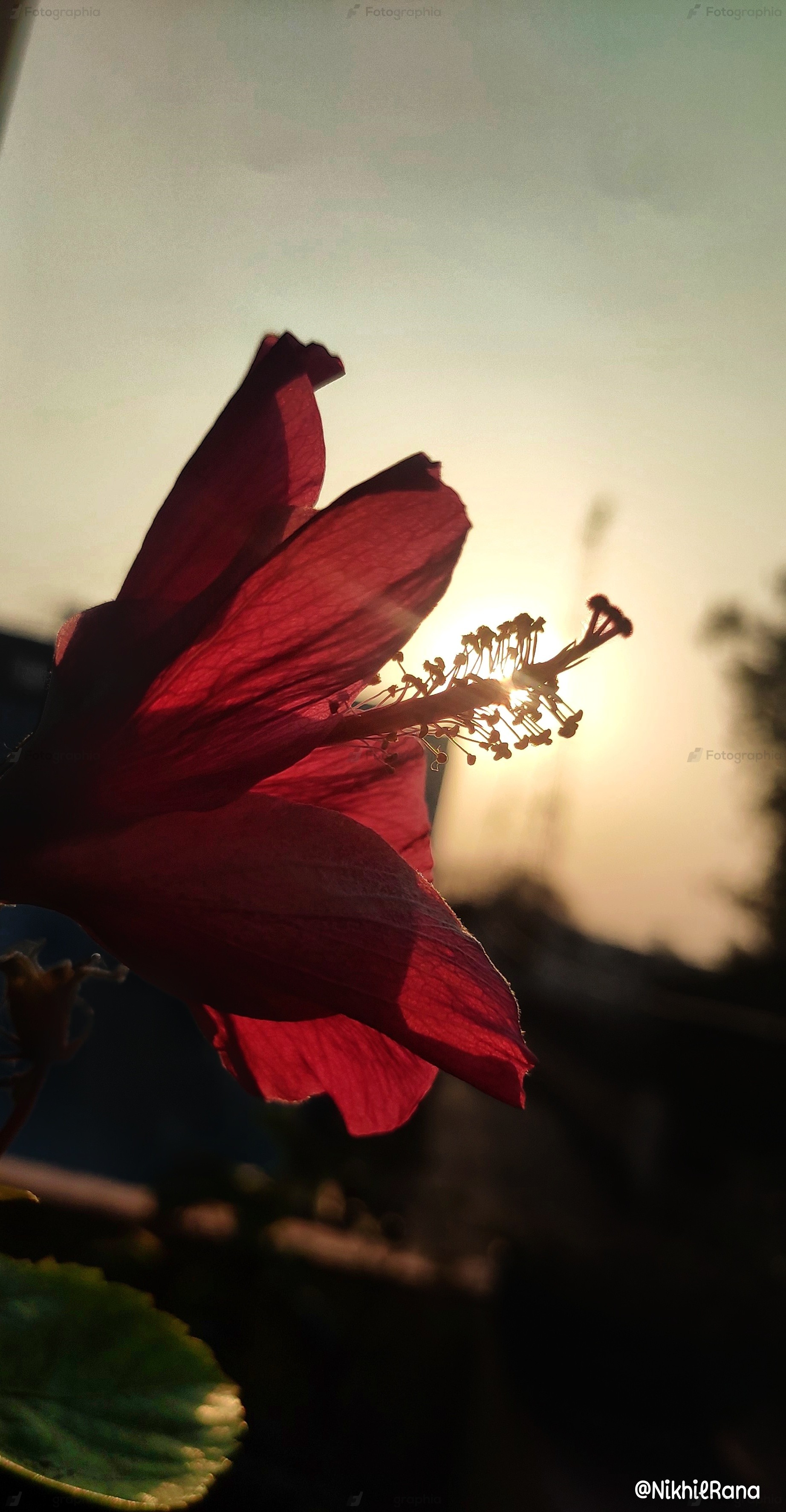 Red china flower